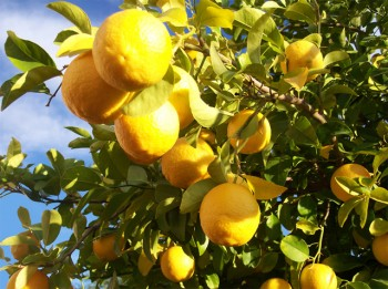 Lemon tree_stock.xchng